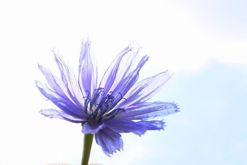 Chicory_1