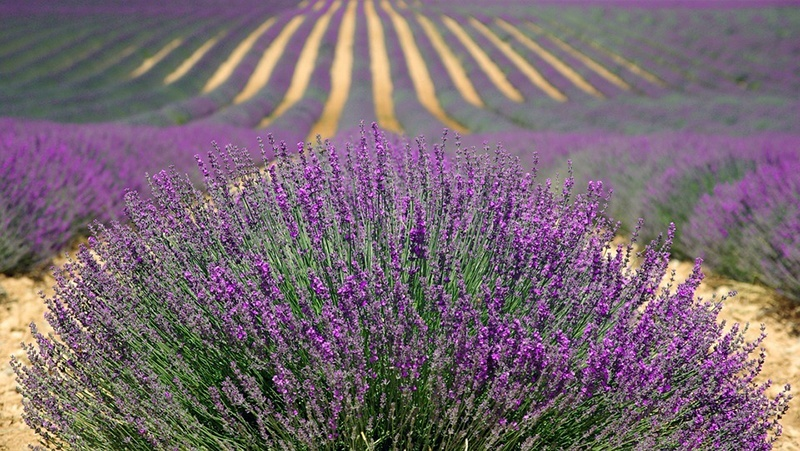 lavender-894919_960_720 (1)