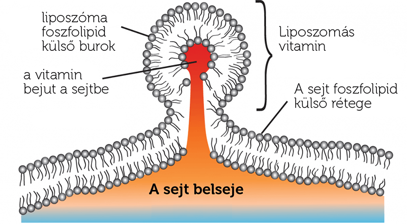 liposzoma_beepulese_vitamin_bejutas_sejtekbe
